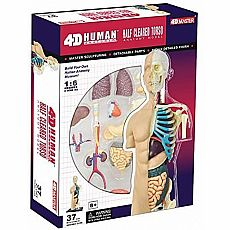 4D Human Half Cleared Torso Anatomy Model