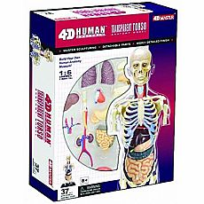 4D Human Transparent Torso Anatomy Model