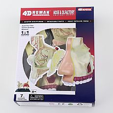 4D Human Nose & Olfactory Anatomy Model